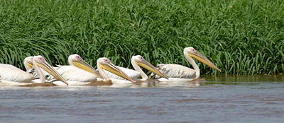 Pink-backed pelicans, Kenya