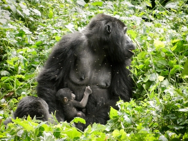 Uganda, Nile River Basin, Bwindi Impenetrable Forest, gorilla trek, baby gorilla with mother, photo by Gad Kanyangyeyo