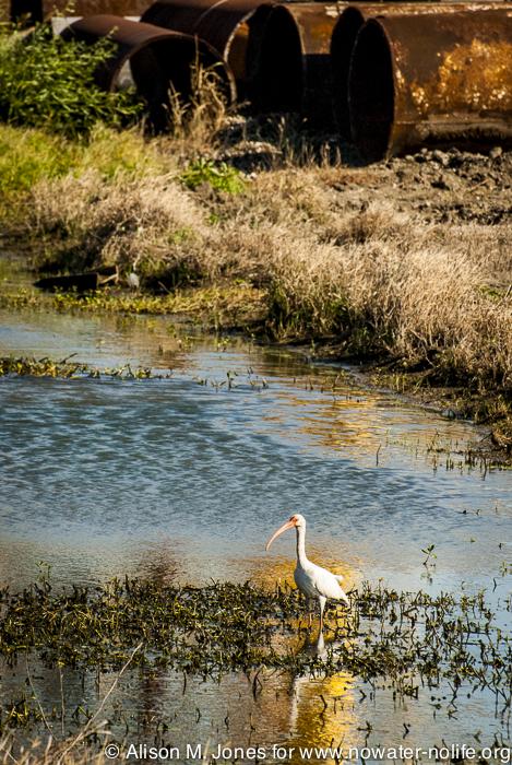USA:  Louisiana, the Atchafalaya Basin, Gulf Island Fabrication Plant, on Route 311 south of Houma (Terrabonne Parish), white ibis (Eudocimus albus)