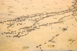 Kenya: Maasai (aka Masai) aerial view of lines of wildebeeste migration in Mara National Reserve, Mara Conservancy, Mara Triangle