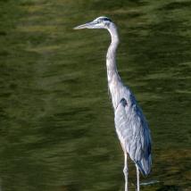 USA: Alabama, Tennessee River Basin, Great Blue Heron at Guntersville Dam