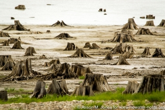 Canada: British Columbia, Kinbasket Lake Resort, west shore of lake, tree stumps on lake shore that BC Hydro cut down before initial flooding of dam