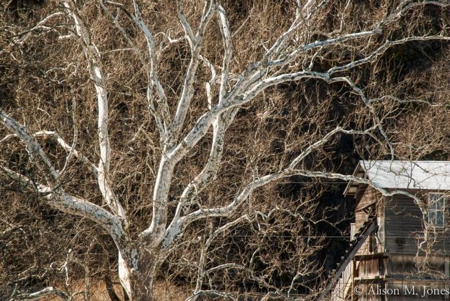 USA: New Jersey, Upper Raritan River Basin, Clinton, sycamore tree on river bank of South Branch of Raritan River
