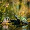 USA: Louisiana, Atchafalaya Basin, mud turtle and wild flower in swamp