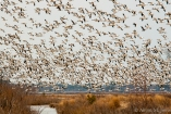 Maryland, Blackwater National Wildlife Refuge, snow geese taking flight over Blackwater Marsh