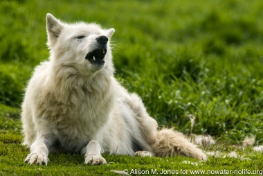 "USA:  Montana, Bozeman, ""Cheyenne,"" rescued Grey wolf (Canis lupus)"
