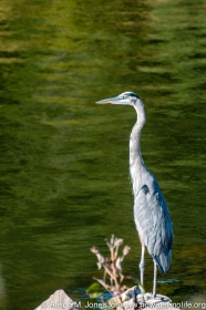 USA: Alabama, Tennessee River Basin, Great Blue Heron at Guntersville Dam