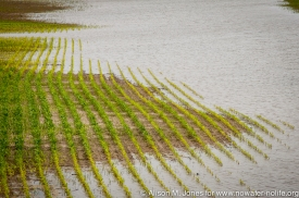 Newly planted corn in 2013 Flood