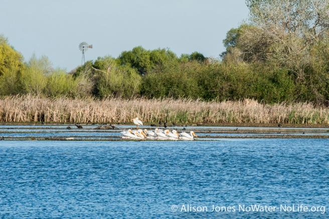 American Pelicans, Mendota Pool