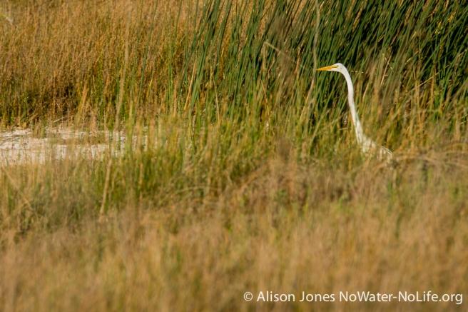 American egret, San Luis NWR