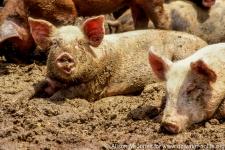 Pig farm near Ste. Genevieve