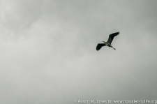 Great Blue Heron flying into storm clouds