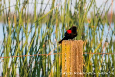 Red-winged blackbird, San Luis NWR