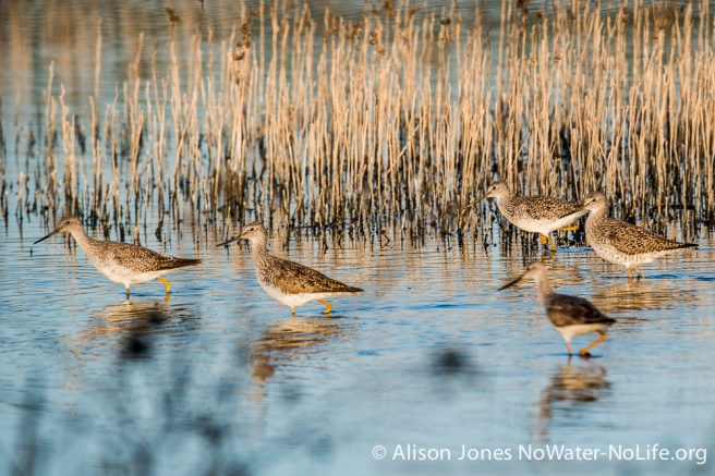 Lesser yellowlegs, San Luis NWR