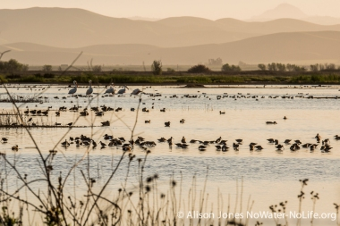 Coots and Northern shovelers, San Luis NWR