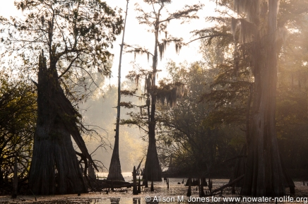 USA: Louisiana, the Atchafalaya Basin, bald cypress in Pierce Lake