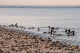 USA: New York, Long Island, Huntington, Lloyd Harbor, Caumsett State Historic Park, migrating flock of brant (Branta bernicla) on Long Island Sound