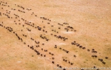 Kenya: Maasai (aka Masai) Mara National Reserve, Mara Conservancy, Mara Triangle, wildebeest migration, aerial view