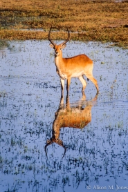 Botswana: Okavango Delta, Chief's Island, Mombo Camp, Red lechwe at waterhole with reflection