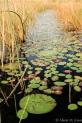 Botswana: Okavango Delta, Xugana mocorro trip, lily pads in wetlands