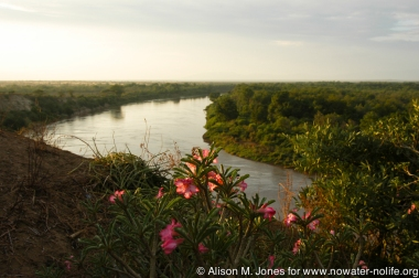 Ethiopia, Omo River Valley, view of Omo River with desert rose
