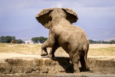 Kenya: Amboseli National Park, male elephant in mud hole, baboons in distance.