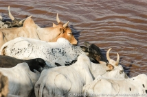 Ethiopia: cattle drinking from the Omo River