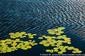 Water Lilies, Adirondacks SP, NY