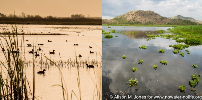 Rivers in Africa and N America support migrations, but are also clogged by invasive species.