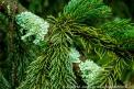green, plant, pine needles