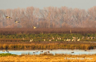 greater sandhill cranes