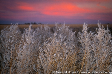 Texas: Tulia, weeds near cotton gin covered with blown cotton residue,