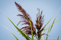 USA: New York City, Queens, Jamaica Bay Wildlife Refuge, (Gateway National Recreation Area), West Pond Trail, Phragmites, an invasive species creating monoculture ecosystems