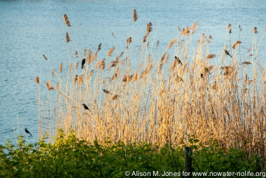 USA: New York, Long Island, Huntington, Lloyd Harbor, red-winged blackbirds in phragmites (invasive) species)