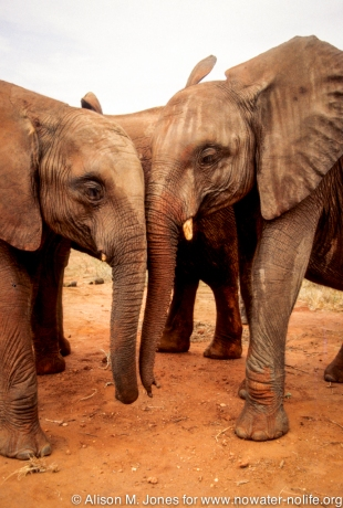 Kenya: Tsavo East National Park, close-up of two young adult orphaned African elephants ('Loxodonta africana') intertwining trunks at mud hole,