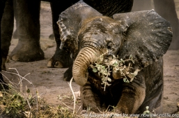 Kenya: Amboseli National Park, baby elephant ('Loxodonta africana') with plant in mouth, herd of females in background.