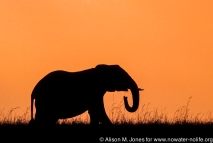 Kenya: Maasai (aka Masai) Mara National Reserve, Mara Conservancy, Mara Triangle, Silhouette of Elephant ('Loxodonta africana') at sunset