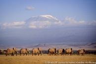 Kenya: Amboseli, herd of African elephants ('Loxodonta africana') with Mt Kilimanjaro in distance at sunset,