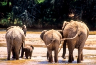 Kenya: Samburu National Reserve, female African elephant (Loxodonta africana) with two young adults and baby drinking from Uaso Nyiro River, seen from rear,