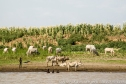 Ethiopia: Lower Omo River Basin, Omo River in the delta, Dassenech country, at low water season, Dassenech children swimming in Omo in front of livestock on shore and sorghum fields