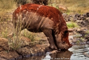 Kenya: Nairobi National Park, 'Scud,' orphaned juvenile black rhinoceros ('Diceros bicornis') under the care of Daphne Sheldrick, drinking water at waterhole after mud bath