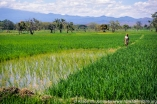 Tanzania: Kileo, TechnoServe and Grain Grower's Co-op rice growing project, woman worker in rice paddies, with Mt Kilimanjaro in distance.
