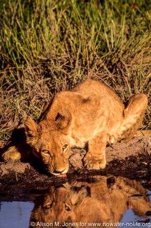 Botswana: Okavango Delta, Chief's Island, lion cub at waterhole