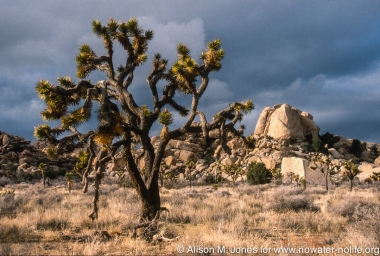 "CA: Joshua Tree National Monument, Mohave Desert, near Hidden Valley with Joshua tree (""Yucca brevifolia"")"