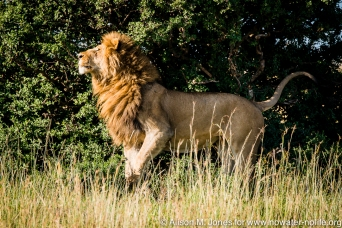 East Africa, Kenya, Maasai Mara National Reserve, male lion