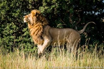 East Africa, Kenya, Maasai Mara National Reserve, male lion