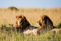 East Africa, Kenya, Mara River Basin, 2 male lion in the grass