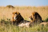 East Africa, Kenya, Mara River Basin, 2 male lion in the grass