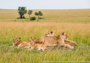 East Africa, Kenya, Mara River Basin, lioness with cubs