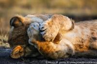 Kenya: Maasai Mara National Reserve, sub-adult male